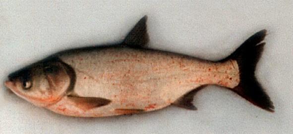 http://fish-world.narod.ru/tolstolobik_bel.jpg